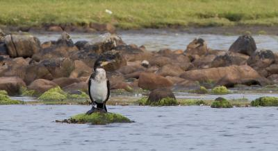 Young Cormorant Reiff Loch